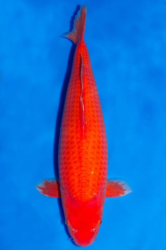 Cá Koi Benigoi (Fire)
