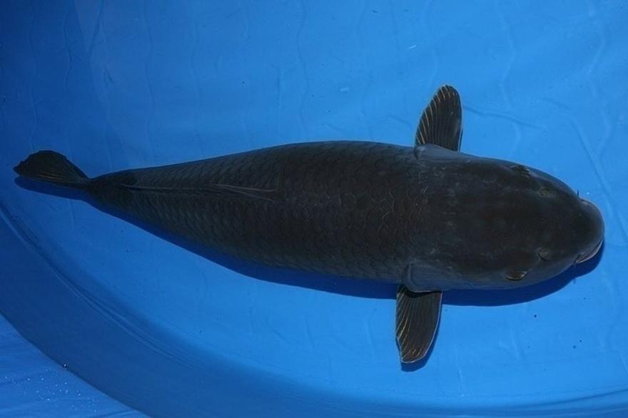 Cá Koi Karasu Goi (water)