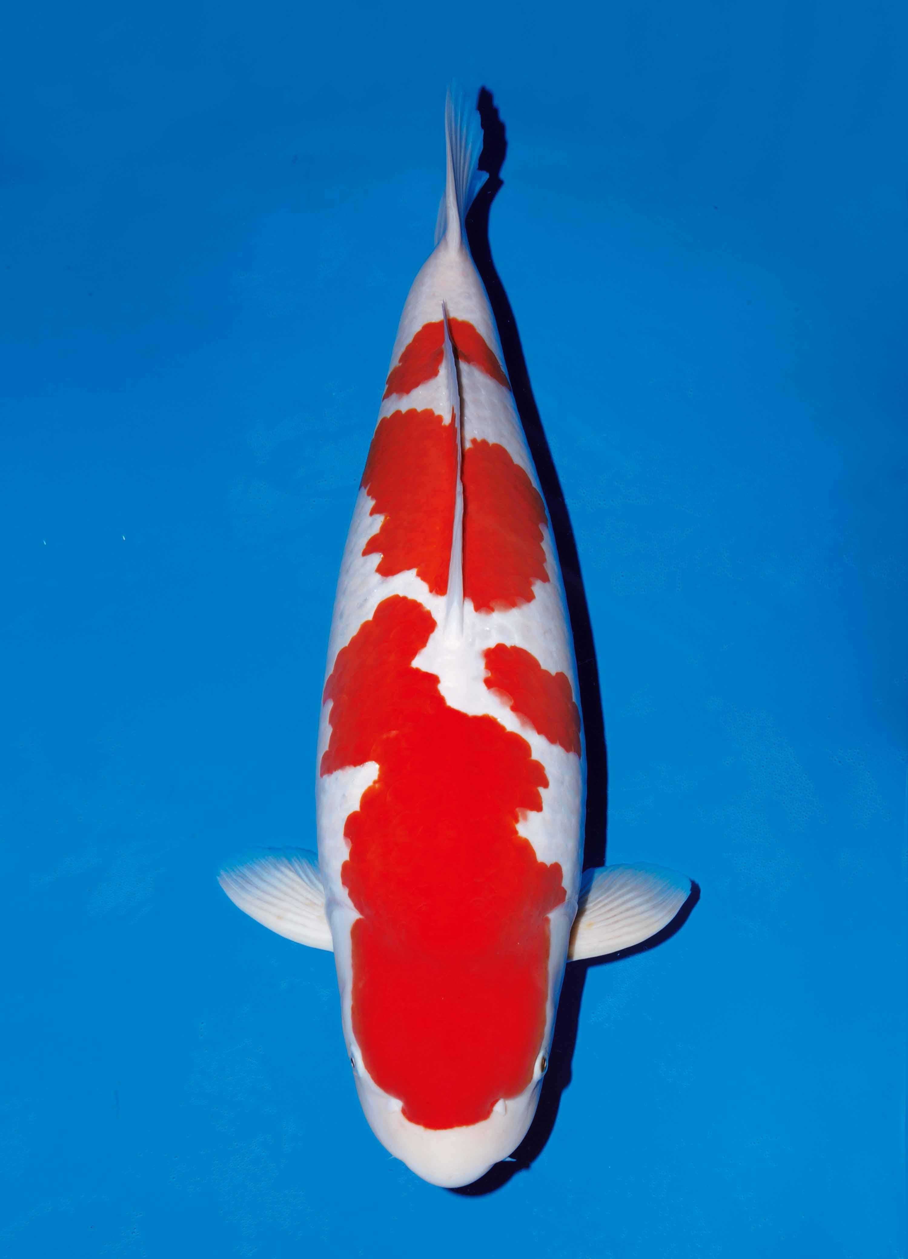 Cá Koi Kohaku (West)