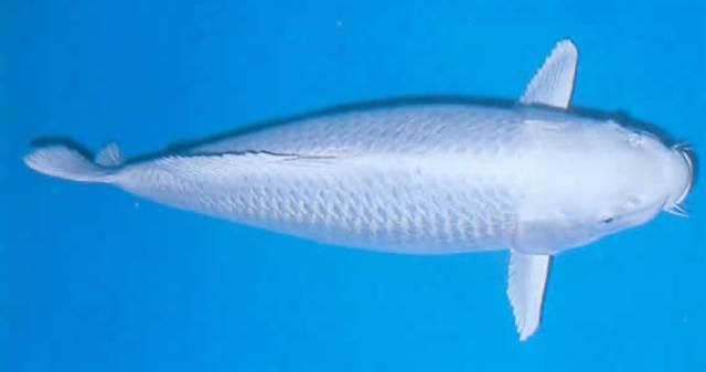 Cá Koi Platinum Ogon (wood)